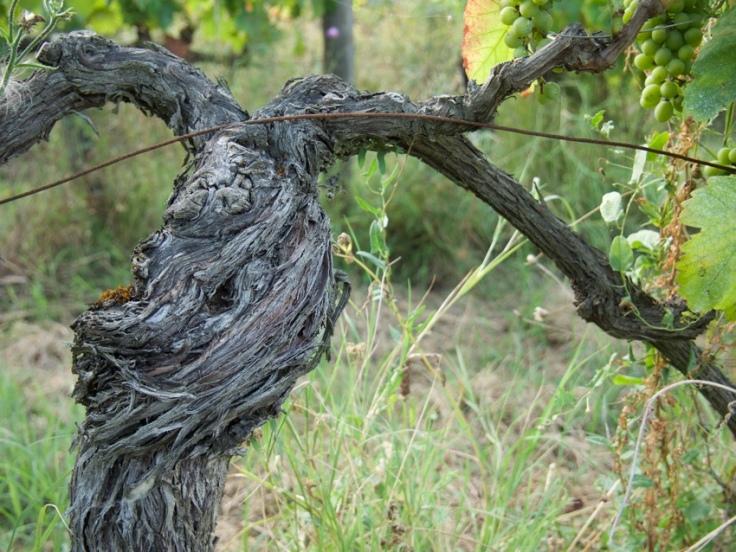 Un cep de vieille vigne