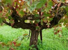 Vieille vigne de Mavrodaphne