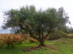 Un superbe olivier